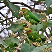 Parakeet Photos - Sulfur-Winged Parakeets by Heiko Koehrer-Wagner