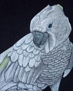 Anita Putman - Sulpher-crested Cockatoo