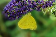 Tam Ryan - Sulphur Butterfly