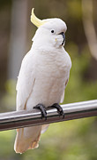Pet Cockatoo Prints - Sulphur Crested Cockatoo Print by Tim Hester