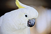 Pet Cockatoo Framed Prints - Sulphur Crested Framed Print by Nicole Rodriguez