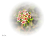 Sue Smith Prints - Sulphur-flower Buckwheat Print by Sue Smith