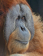 Orang-utans Prints - Sumatran Orangutan Deep In Thought Print by Margaret Saheed