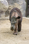 Judy Whitton - Sumatran Rhinoceros