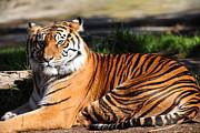 Wingsdomain Art and Photography - Sumatran Tiger 5D27142