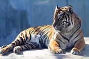 Sumatran Tiger 7d27276 Print by Wingsdomain Art and Photography