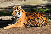 Wingsdomain Art and Photography - Sumatran Tiger 7D27310