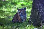 Cuddly Acrylic Prints - Sumatran Tiger Cub Acrylic Print by Garry Gay