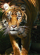 Saheed Framed Prints - Sumatran Tiger Emerges Framed Print by Margaret Saheed