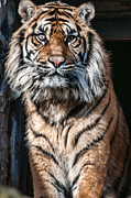 Pictures Of Cats Photo Metal Prints - Sumatran Tiger In the Sun Metal Print by Walter Hampson