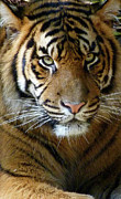 Margaret Saheed Framed Prints - Sumatran Tiger Junior Framed Print by Margaret Saheed