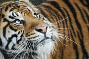 Keith Thorburn - Sumatran Tiger