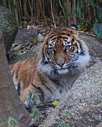 Sumatran Tiger Relaxing Print by Margaret Saheed