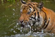 Tigress Posters - Sumatran Tiger Splashing in the Water Poster by Louise Heusinkveld
