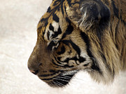 Photos Of Cats Posters - Sumatran Tiger Poster by Val Brackenridge