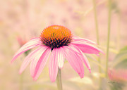 Cone Flower Prints - Summer Always Comes Anyway Print by Bob Orsillo