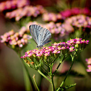 Karen Adams Posters - Summer Azure Butterfly on Yarrow Poster by Karen Adams