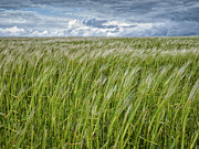 Outsides Art - Summer Barley by Julian Eales