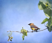 Cedar Waxwing Framed Prints - Summer Cedar Waxwing 2 Framed Print by Thomas Young