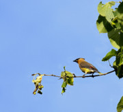 Cedar Waxwing Photos - Summer Cedar Waxwing by Thomas Young