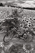 Spring Scenes Prints - Summer Cycling in Black and White Print by Debra and Dave Vanderlaan