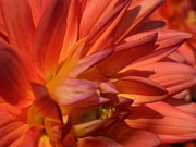 Alexandra Brown - Summer Dahlia