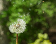 Howard Heywood Metal Prints - Summer Dandelion Metal Print by Howard Heywood