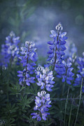 Lupines Framed Prints - Summer Dream Framed Print by Priska Wettstein