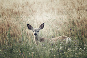 Prairie Poetry - Summer Fawn