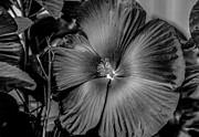 Ray Congrove - Summer Hibiscus