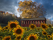 Autumn Scenes Metal Prints - Summer in Sunflowers Metal Print by Debra and Dave Vanderlaan