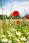 Mohnblume Prints - Summer meadow with red poppy Print by Matthias Hauser