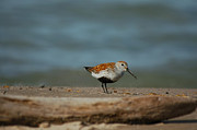 Avian Prints - Summer plumage Dunlin Print by Paul OToole