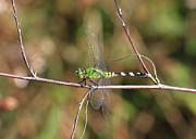 Dragonfly Macro Photos - Summer Pondhawk Dragonfly by Carol Groenen