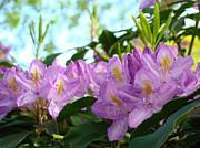 Flora Framed Prints Photos - Summer Rhodies Flowers Purple Floral art Prints by Baslee Troutman Floral Art Prints