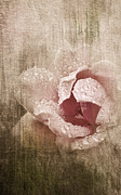 "\""textured Flower\\\"" Framed Prints - Summer Rose #1 Framed Print by Betty LaRue"