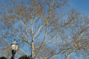 Walnut Tree Photograph Prints - Summer Sky Winter Day Print by Robert Harmon