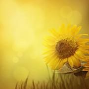 Mythja  Photography - Summer sunflower background