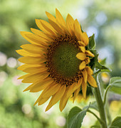 Terry DeLuco - Summer Sunflower