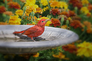 Bonnie Barry - Summer Tanager and...
