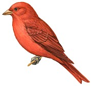 Illustration And Paintings - Summer tanager  by Anonymous