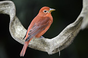 Thomas Chamberlin - Summer Tanager