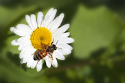 Daisies Art - Summer Time Bee by Christina Rollo