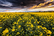Rapeseed Photos - Summers nearly here by John Farnan