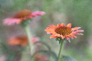 Lensbaby Close-up Posters - Summertime Cone Flowers Poster by David and Carol Kelly
