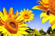 Sunflower Photograph Posters - Summertime Sunflowers Poster by Bob Orsillo