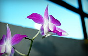 Jun Camus - Sun-backed Orchid