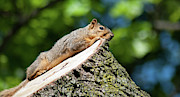 Eastern Fox Squirrel Metal Prints - Sun Basking  Metal Print by Optical Playground By MP Ray