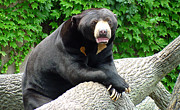 Gary Gingrich Framed Prints - Sun Bear - 09515 Framed Print by Gary Gingrich Galleries