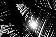 Jamaican Sunset Photos - Sun Breaking Through Palm Trees by Shaun Maclellan